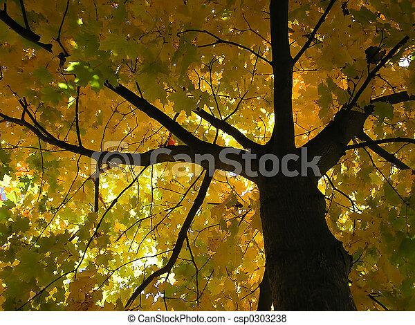 maple tree - csp0303238