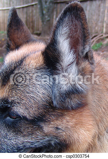 Closeup of the ear of a pure breed german shepherd dog with an ear infection