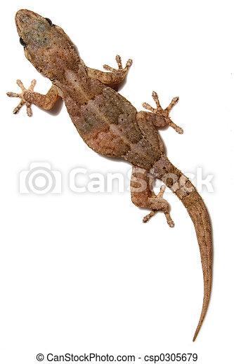 Gecko on White - csp0305679