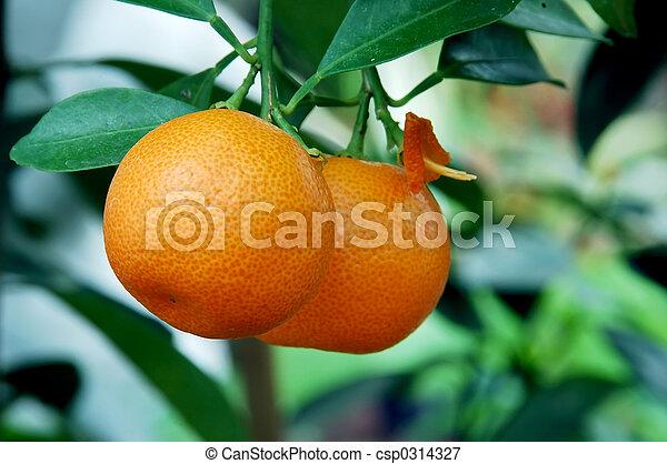 Calamondin Citrus Oranges - csp0314327