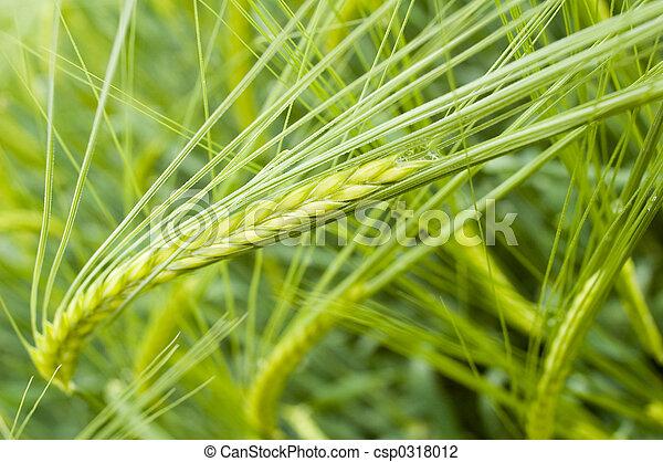 barley field - csp0318012