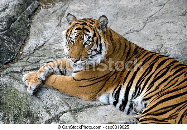 Tigers Gaze - csp0319025