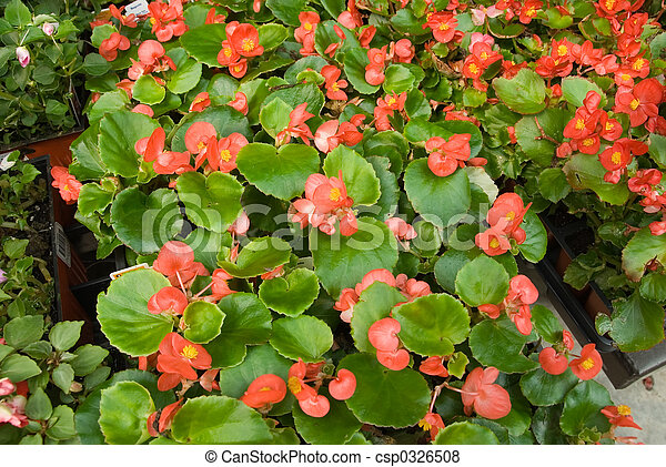 Begonias at the Greenhouse Market - csp0326508