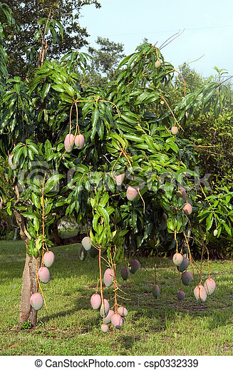 banque de photographies de mangue arbre dans floride. Black Bedroom Furniture Sets. Home Design Ideas