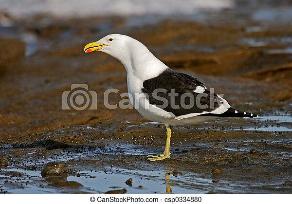 Kelp gull - csp0334880