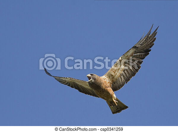 Angry Hawk in flight - csp0341259