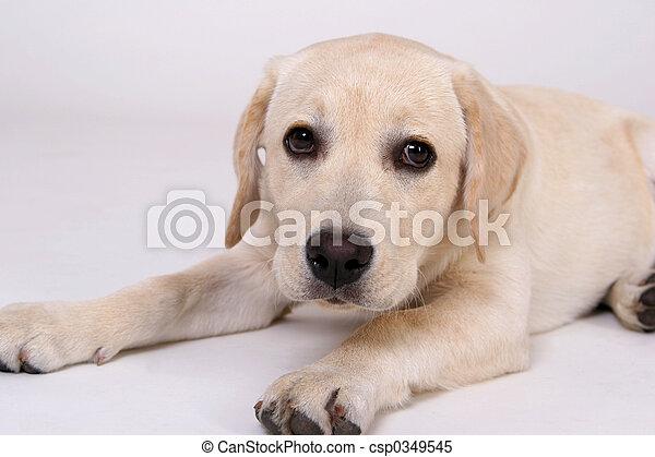 Young Labrador - csp0349545