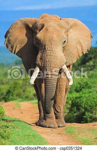 Porträt, elefant - csp0351324
