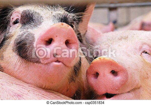 Pigs - csp0351834