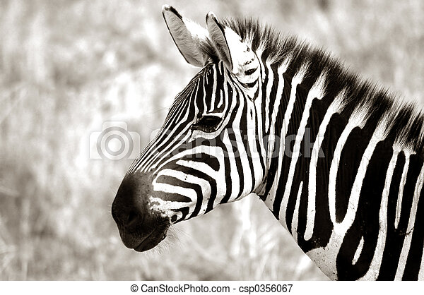 Adult Zebra - csp0356067