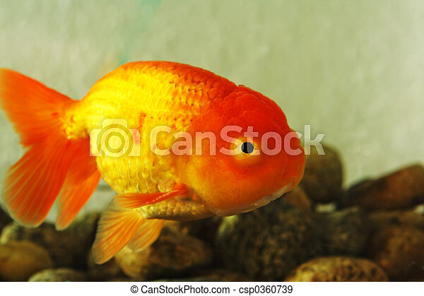 Banque de photographies de fantaisie poisson rouge lion for Tarif poisson rouge