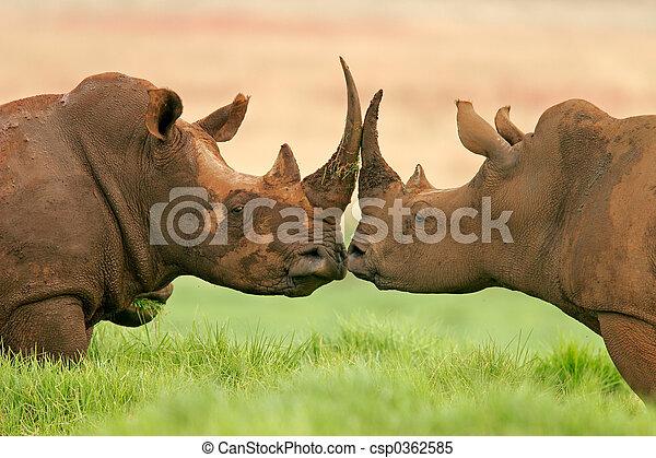 White rhinoceros - csp0362585