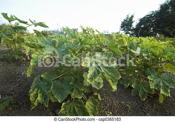 Okra Plant Okra Plants Okra Plantation