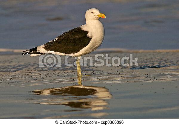 Kelp gull - csp0366896