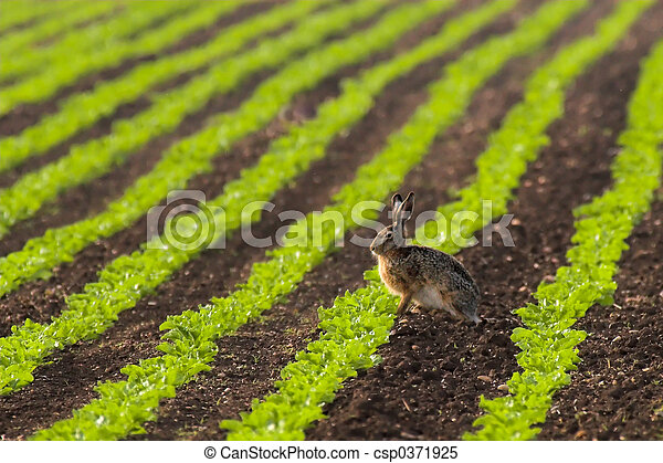 Hare in a field - csp0371925