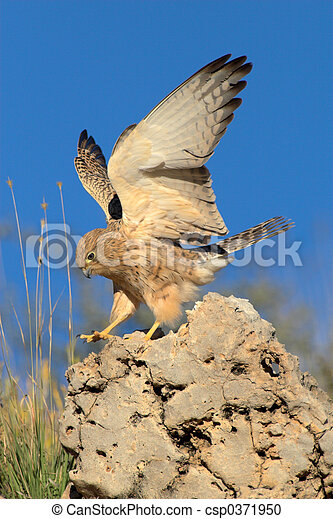 Lesser kestrel landing on rock - csp0371950