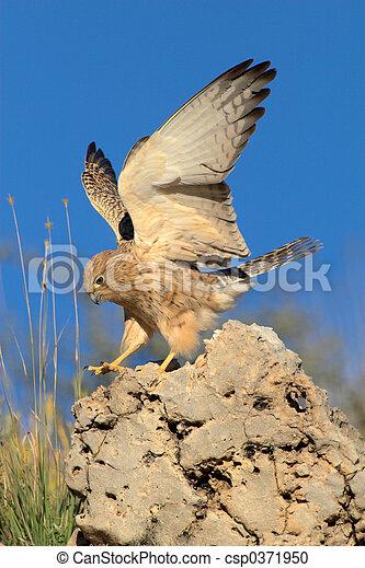 Lesser kestrel landing on rock - csp0371950