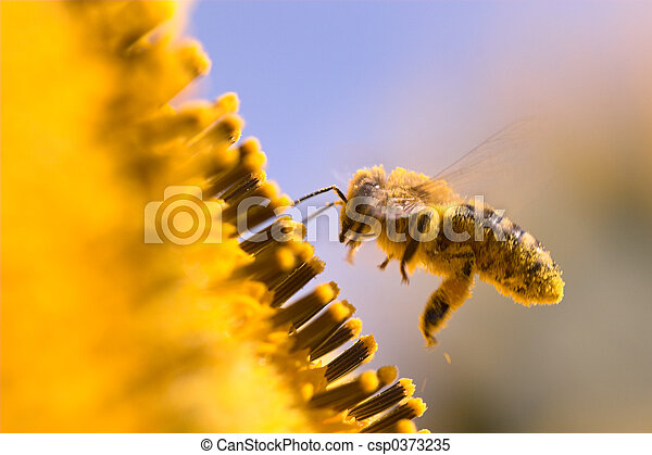Macro of a honeybee in a sunflower - csp0373235