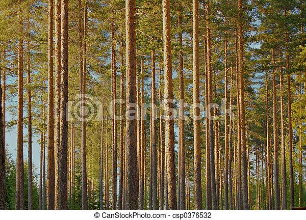 Pine forest - csp0376532