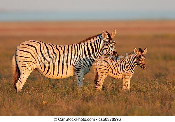 Ebenen,  Zebras - csp0378996