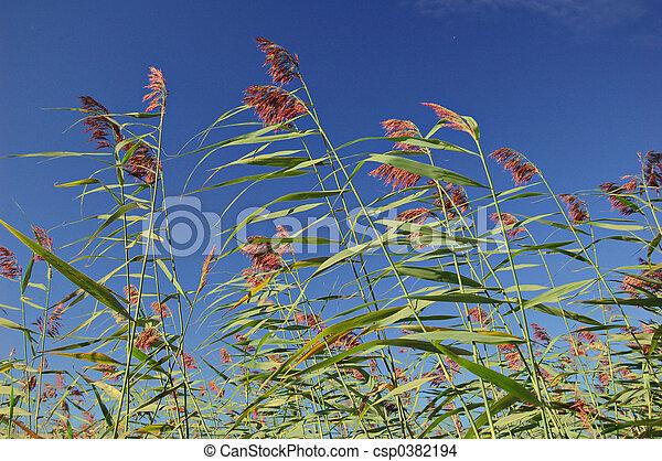 Reeds - csp0382194