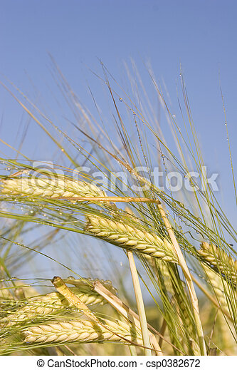Morning Barley - csp0382672