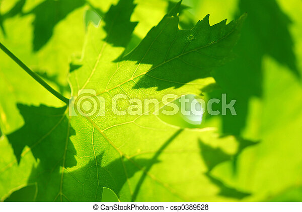 Green maple leaves - csp0389528