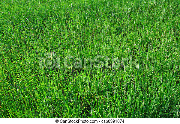 vivid young wheat - csp0391074