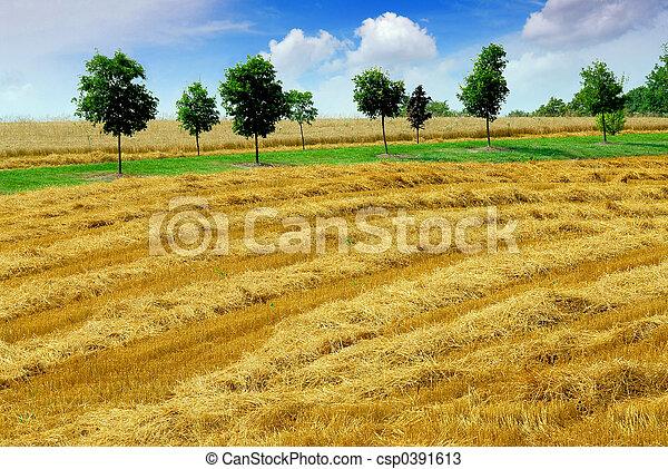 skörd, korn, fält - csp0391613