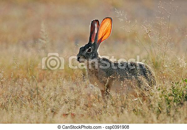 Scrub hare - csp0391908