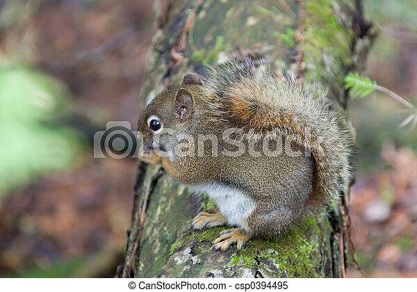 tiere, eichhörnchen - csp0394495