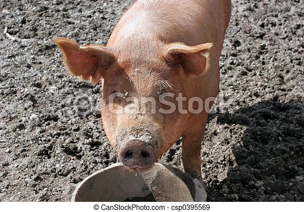Curious Pig - csp0395569