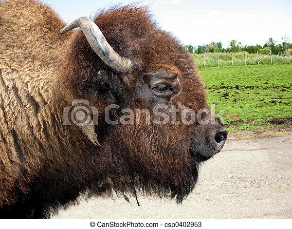 北美野牛 - csp0402953