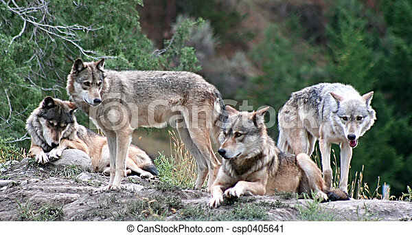 Timber Wolves - csp0405641