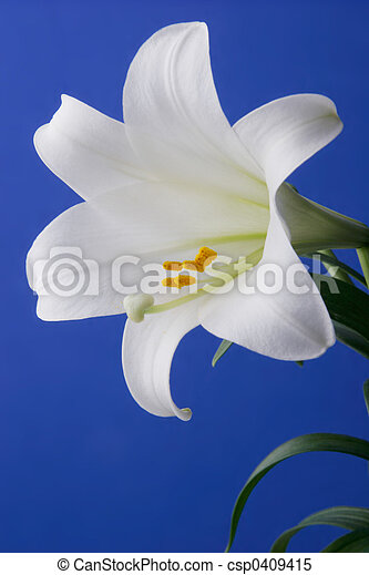 Easter Lily Closeup - csp0409415