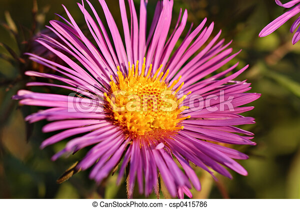 New England Aster - csp0415786