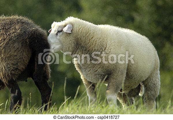 White sheep snuffling at black sheep backside - csp0418727
