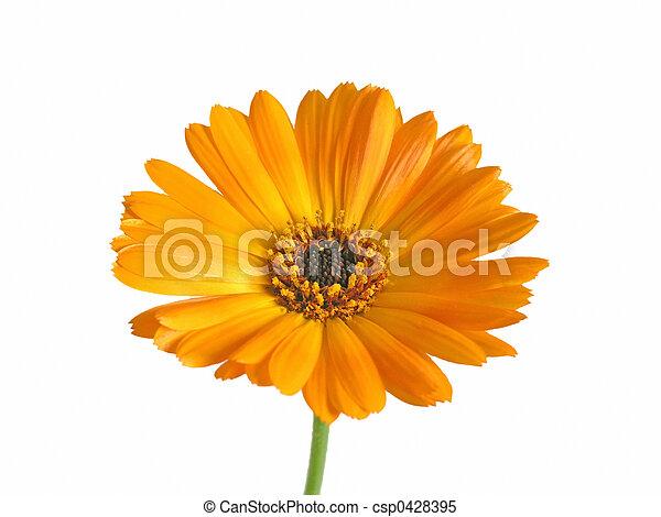 marigold - csp0428395