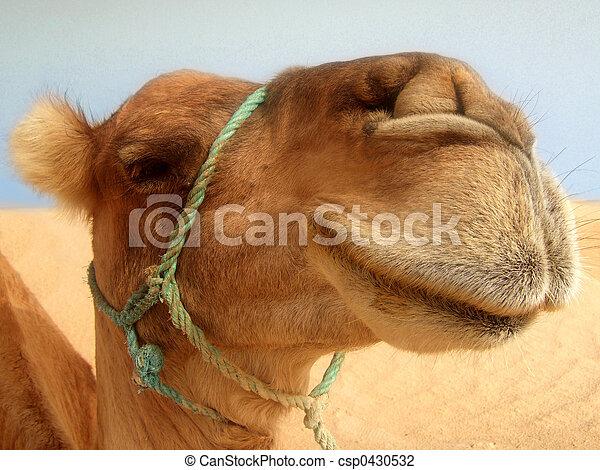 Great camel headshot - csp0430532