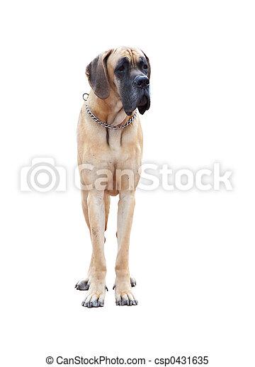 german dogge - csp0431635