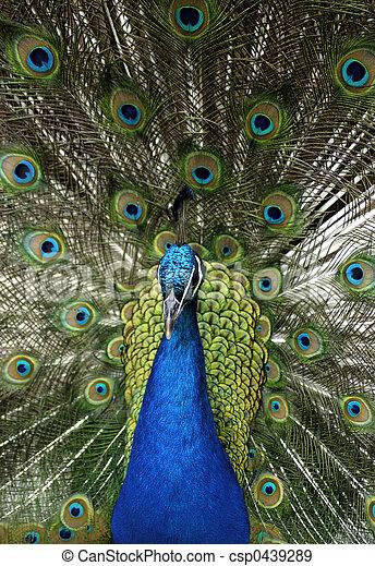藍色,  -, 印第安語, 動物, 孔雀,  cristatus),  (pavo - csp0439289