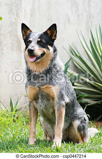 boiada, cão, azul - csp0447214