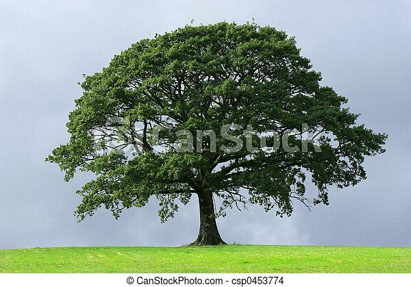 橡木, 樹 - csp0453774