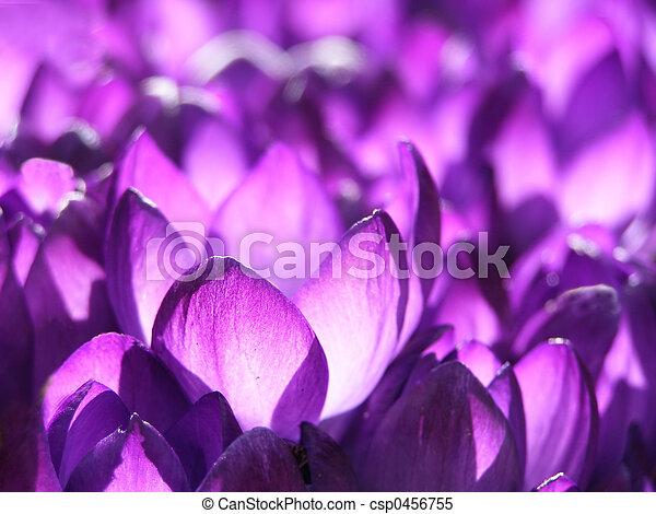 primavera, Açafrão - csp0456755