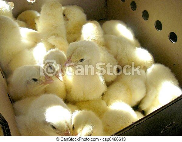 Cute Chicks in a Box