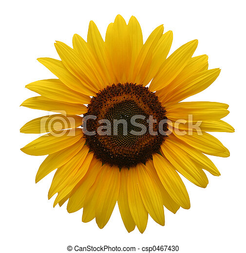 Sunflower isolated - csp0467430