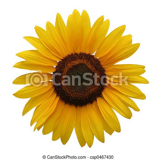 Sunflower isolated - csp0467430
