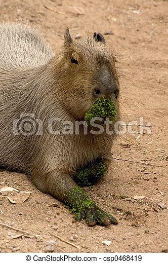 capybara - csp0468419