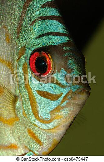 Blue discus fish - csp0473447