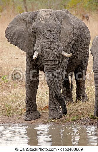 afrikanisch, elefant - csp0480669